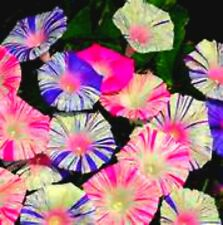 Carnival Morning  Glory Vine! (EVERY FLOWER IS DIFFERENT!) Comb S/H!  10 Seeds