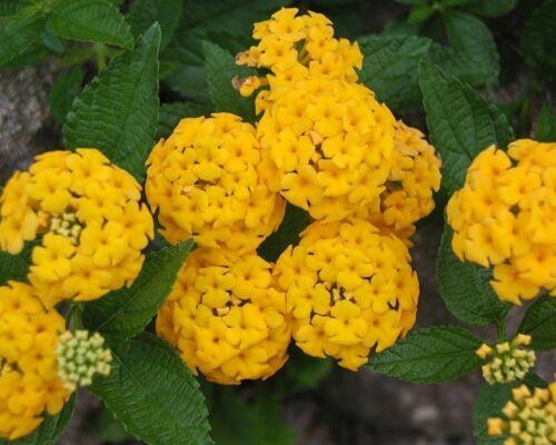 100 Lantana camara GIALLO (YELLOW) semi, seeds