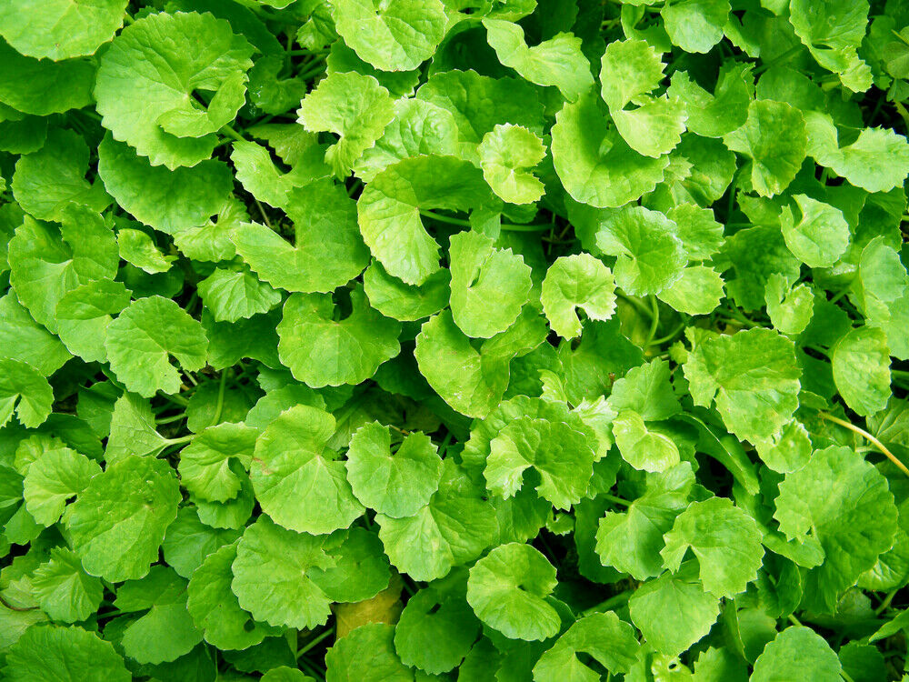 Centella asiatica gotu kola Hydrocotyle 25 semillas frescas a la venta en línea