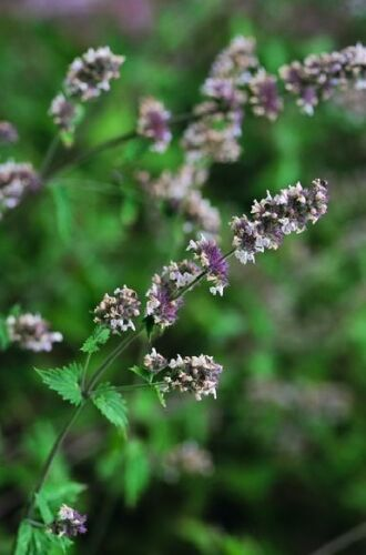 1500 seeds Nepeta Cataria Catnip Catmint Herb