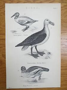 Antique-Engraving-Print-Bird-Picture-Shoveller-Wandering-Albatross-Goosander-Old