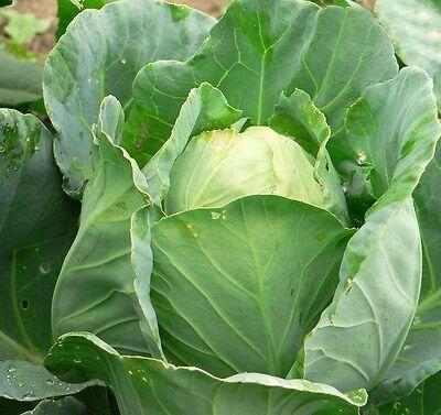 Charleston Wakefield Cabbage 500 Seeds * Non Gmo* Ez Grow * E75 Voor Een Soepele Overdracht