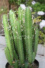 "(1) Good Luck Plant / Euphorbia Trigona Green Cutting 16"" Long (No Root)"