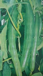 Cucumber Armenian 1 M Long 30 Seeds Seeds
