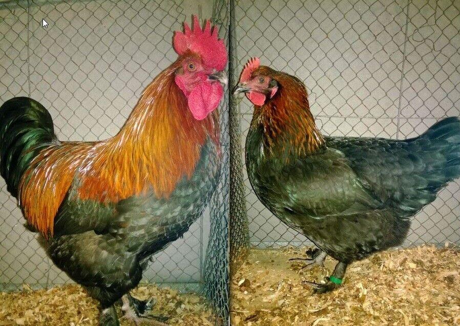 Kyllinger, 20 stk.