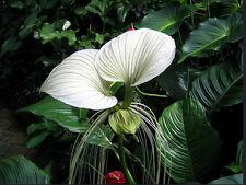 White Bat Plant (Tacca nivea) - 10 Seeds