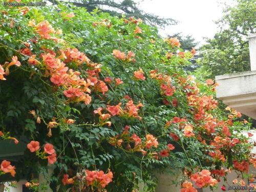 graine seed bignone orange campsis radicans