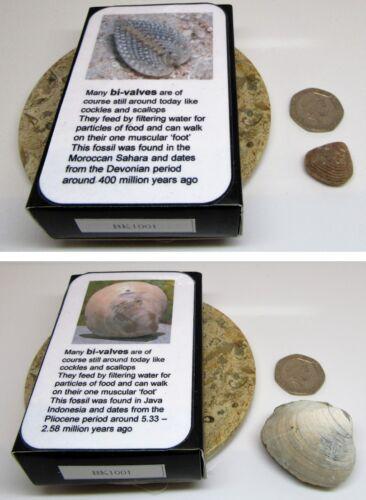 Set of 2 real fossil sea shells & gift box & information card  dinosaur & nature