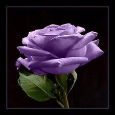 5 PURPLE ROSE Rosa Bush Shrub Perennial Flower Seeds + Gift & Comb S/H
