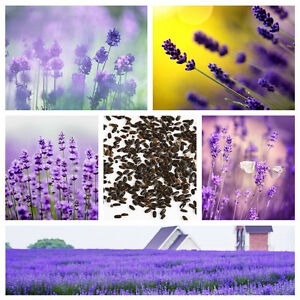 400-Beautiful-Lavender-English-Seeds-Organic-Untreated-Herb-Seeds-Garden-Deocr
