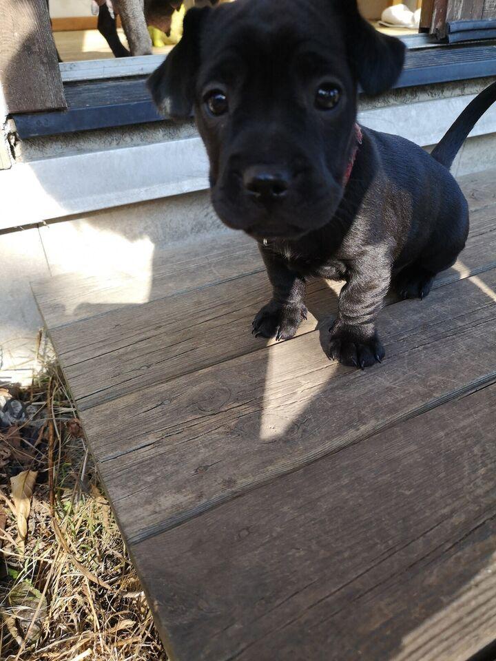 Sharpei/franskbulldog + gravhund hvalp