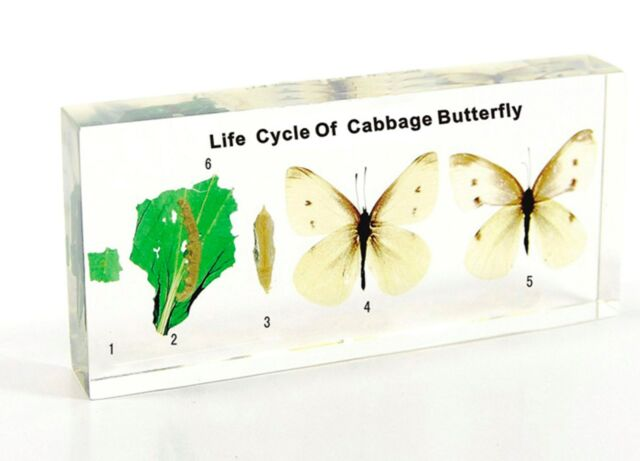 Insect Life Cycle Specimens in Lucite - Cabbage Butterfly