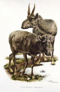 Impression-Affiche-papier-Histoire-Naturelle-l-039-Antilope-Saiga-saiga-tatarica