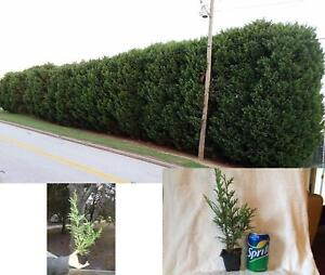 25-Thuja-Green-Giant-Trees-8-039-039-10-039-039-Tall-in-Their-Pots-Plant-Garden-Outdoor-Yard