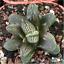 Haworthia-Obtusa-Hybrid-Succulent-plants-potted-Plants-Home-Garden-Bonsai-Garden thumbnail 1