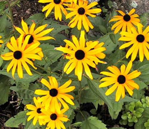 BLACKEYED SUSAN FLOWER SEEDS  *****