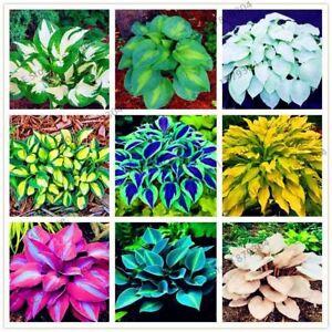 200pcs-bag-Hosta-Seeds-Perennials-Plantain-rare-Lily-Flower-White-Lace-Home-pot