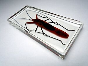 GIANT-RED-BUG-LOHITA-GRANDIS-Real-Macrocheraia-insect-embedded-in-resin