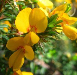 Pultenaea-villosa-HAIRY-BUSH-PEA-native-yellow-amp-red-flowers-plant-in-140mm-pot