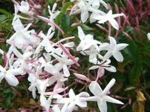 Jasminum officinale climbing plant white scented summer flowers bees image is loading jasminum officinale climbing plant white scented summer flowers mightylinksfo