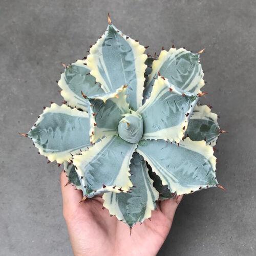 Agave isthmensis Succulent plants potted Home Garden Bonsai Decor Plants 10-12cm
