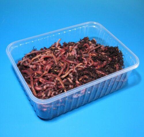 1600 Stück im Sack Rotwürmer Mix zum Stippfischen
