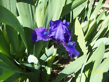 1 Autumn Jester Dwarf Iris Rhizome