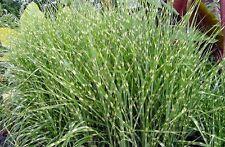 Miscanthus sinensis Zebrinus ZEBRA MAIDEN GRASS Seeds!