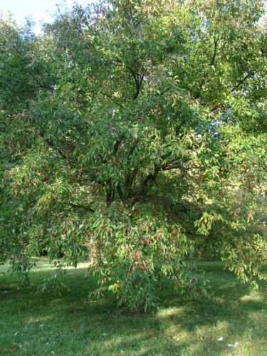 Tea GRANCHIO MELE Malus hupehensis in 9 cm VASO Commestibili Frutti selvatici e Colori Autunno