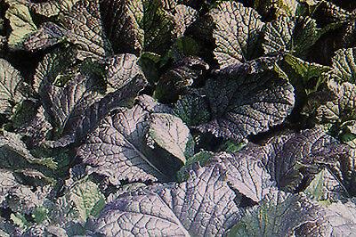 """Brassica juncea#593 20 Samen Blattsenf /"""" Pizzo /"""""""