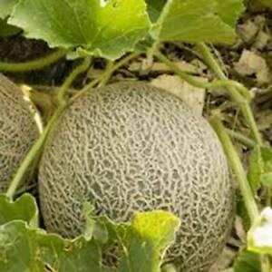 100 SEEDS ORGANIC EDISTO 47 SWEET HEIRLOOM MELLON NON GMO MUSKMELON SEED
