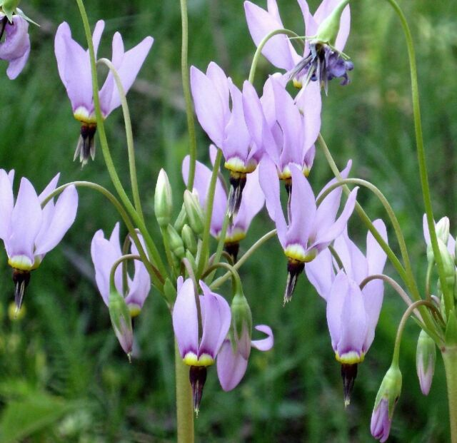 MIDLAND SHOOTING STAR * Dodecatheon media * PARTIAL SHADE * SEEDS