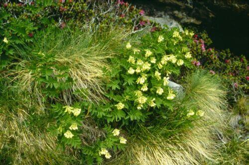 500 Graines Astragale /'Astragalus Membranaceus/' Huang-Qi Medicinal Plant seeds