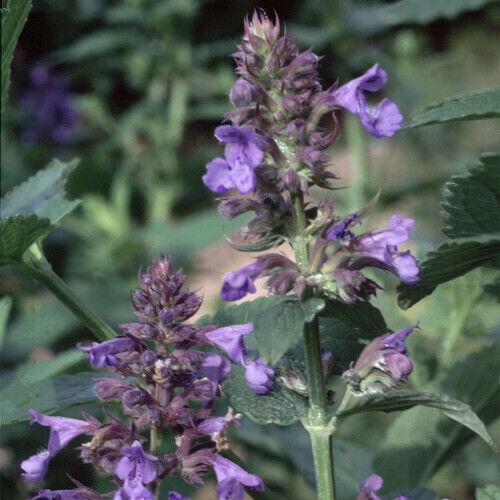 NEPETA PARNASSICA 100 seeds