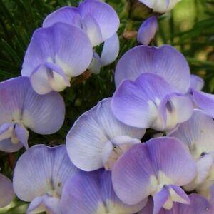 "Amazing, rare ""Grape Soda Bush""! - Sweet-scented Psoralea affinis - Live plant"