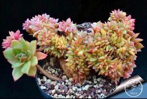 50pcs Japanese Succulents Seeds Rare Indoor Flower Mini Cactus Seeds