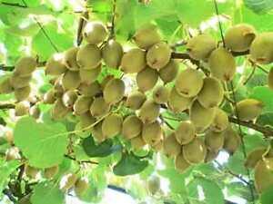 Actinidia-deliciosa-034-Gold-034-Kiwi-Frosthart-20-Samen