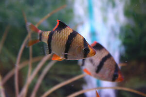 """Live Beginner Freshwater Fish - 3 x 1.5"""" Tiger Barb - Colorful Schooling Species"""
