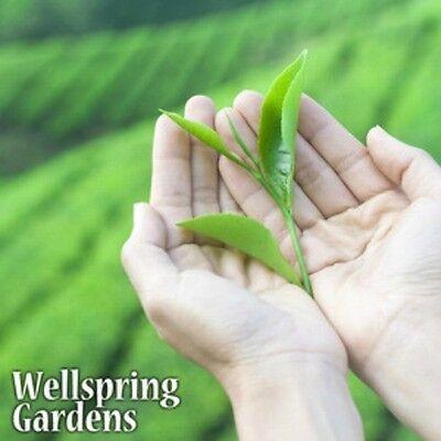 Camellia sinensis Tea Plant Live Black, White, Green & Oolong Excellent gift