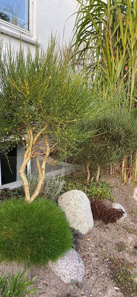 Busk, Opstammet gyvel (bonsai-look)