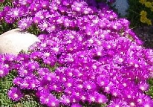 30-DELOSPERMA-TABLE-MOUNTAIN-FLOWER-SEEDS-ICE-PLANT-HEAT-amp-COLD-HARDY-2-034
