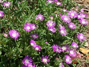 100-Delosperma-Seeds-Stardust-Perennial-Seeds-Ground-Cover-Iceplant-Seeds
