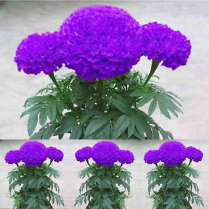 100pcs-Purple-Marigold-Seeds-Potted-Plant-Flower-Seed-Home-Garden-Decoration