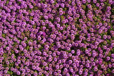 CREEPING THYME 250 seeds HERB lawn garden PURPLE FLOWERS garden dual purpose
