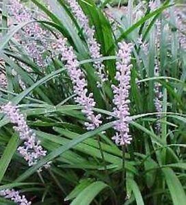 Evergreen Giant Liriope Muscari Flowering Border Grass Plant In