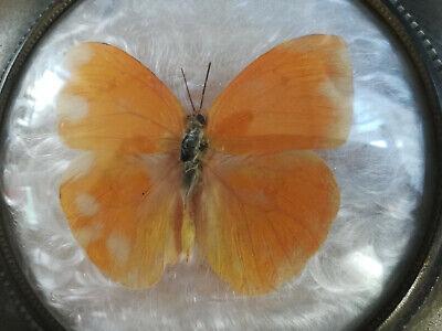 Seifendose Um 1920 – Firma Dralle – Sonnengelber Schmetterling
