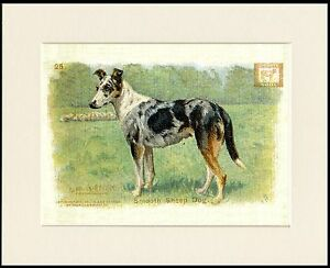 SMOOTH-COLLIE-BAKING-SODA-ADVERT-LOVELY-DOG-PRINT-MOUNTED-READY-TO-FRAME