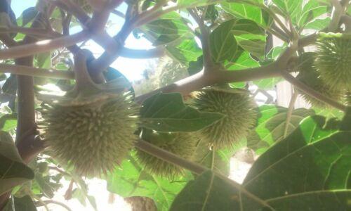 Datura Wrightii New 2020 Sacred Datura Seeds -50 seeds