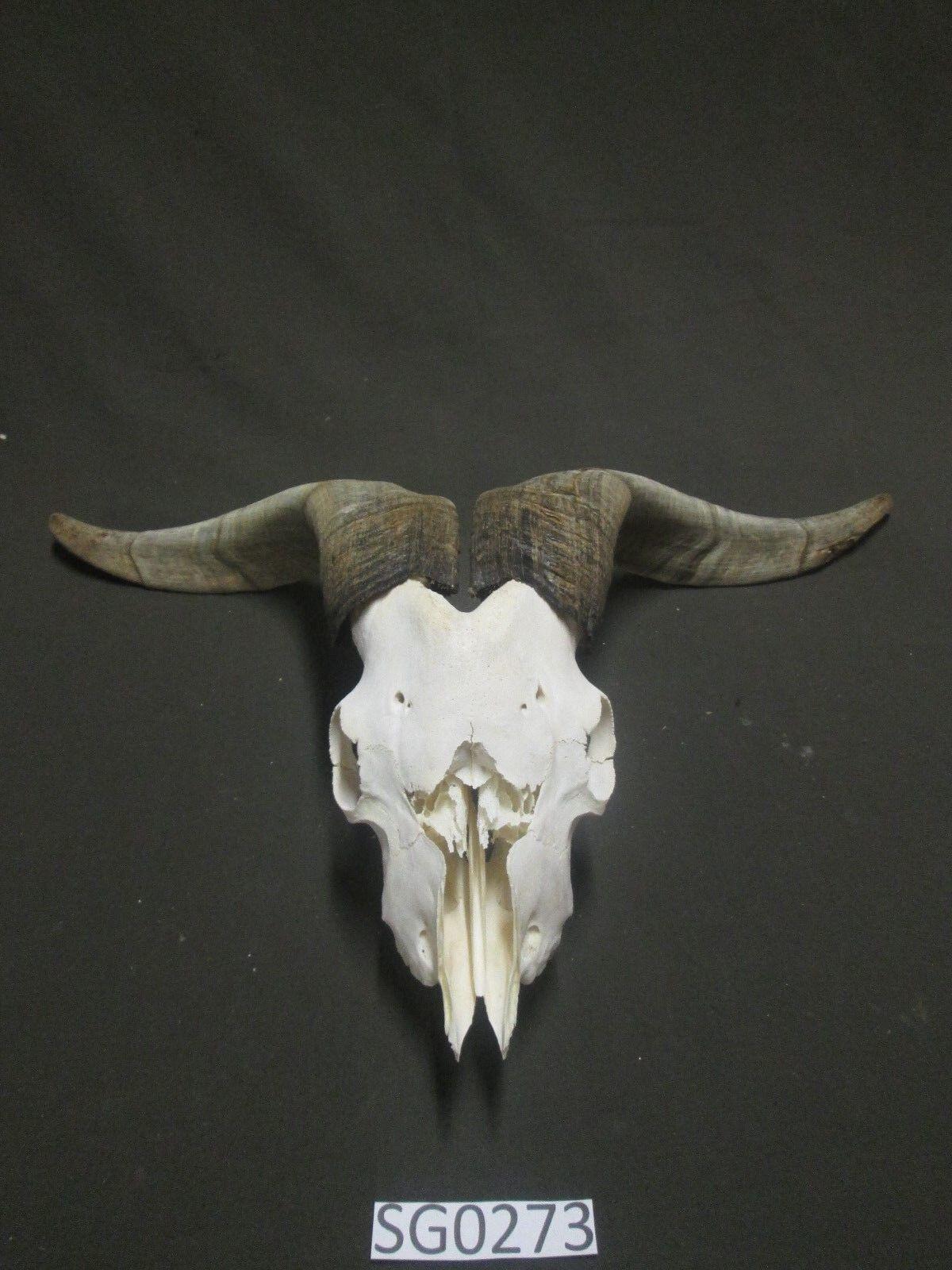 Cráneo de cabra para el trabajo sucio patio Bonito cuernos SG0273