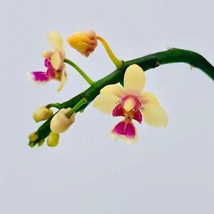 Kingidium-delicioso-var-hookeriana-Orchid-Orchidee-Orquidea-Orchidee